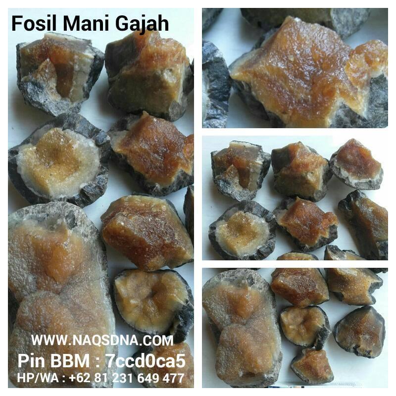 Rough Fosil Mani Gajah jos