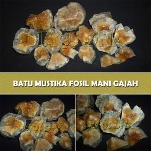 Rough Mustika Fosil Mani Gajah